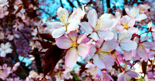 Vaaleanpunaiset kirsikankukat, taustalla häämöttää sininen taivas.